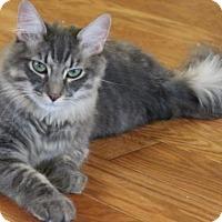 Domestic Mediumhair Cat for adoption in Morgan Hill, California - Casanova