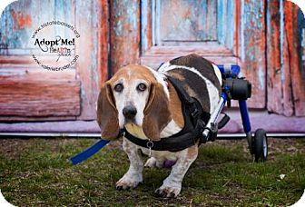 Basset Hound Dog for adoption in Pennsville, New Jersey - LULU