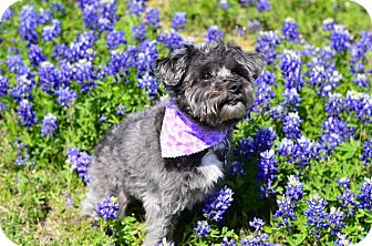 Yorkie, Yorkshire Terrier Mix Dog for adoption in Dallas, Texas - Coco- Guest dog