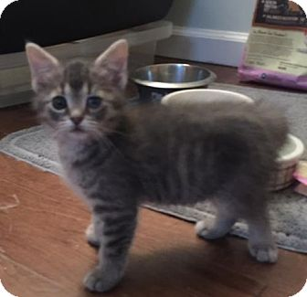 Domestic Mediumhair Cat for adoption in Columbus, Indiana - Arya