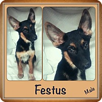 Adopt A Pet :: Festus Adoption pending - Manchester, CT