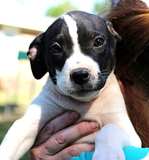 Border Collie/Labrador Retriever Mix Puppy for adoption in Glastonbury, Connecticut - Doughboy~meet me~