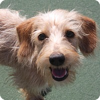 Adopt A Pet :: Rocco - Henderson, NV