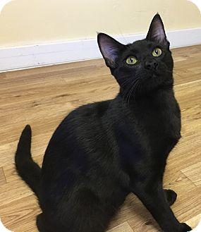 Domestic Shorthair Cat for adoption in Flower Mound, Texas - Zubat