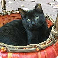 Domestic Shorthair Cat for adoption in Flint HIll, Virginia - Thor