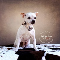 Chihuahua Mix Dog for adoption in Lubbock, Texas - Aim