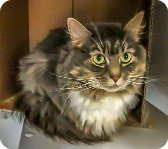 Domestic Longhair Cat for adoption in Alexandria, Virginia - Foxy