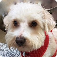 Bichon Frise Mix Dog for adoption in La Costa, California - Tipper