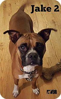 Boxer Dog for adoption in Woodinville, Washington - Jake 2