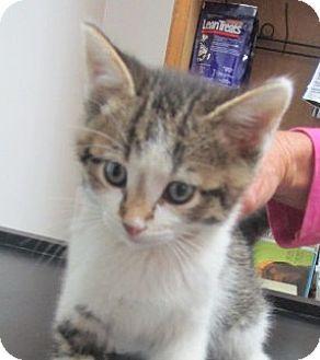 Domestic Shorthair Kitten for adoption in Germantown, Maryland - Denzil