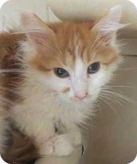 Domestic Mediumhair Kitten for adoption in Lincolnton, North Carolina - Purball &  Puddin,