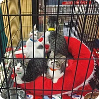 Domestic Shorthair Cat for adoption in Chino Hills, California - Rin