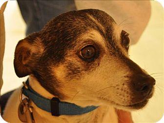 Rat Terrier/Terrier (Unknown Type, Small) Mix Dog for adoption in Osage Beach, Missouri - Pumpkin