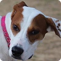 Adopt A Pet :: June, Summer in a fur coat - boston, MA