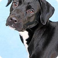 Adopt A Pet :: Zoey - Encinitas, CA
