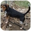 Photo 1 - Beagle Dog for adoption in Pittsburgh, Pennsylvania - Cosby