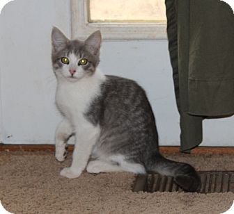 American Shorthair Kitten for adoption in Hagerstown, Maryland - Harold