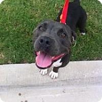 Adopt A Pet :: Angel - Justin, TX
