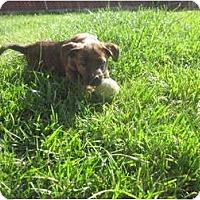 Adopt A Pet :: Lily - Inglewood, CA