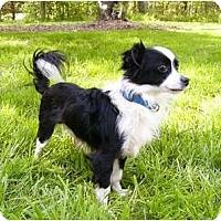 Adopt A Pet :: Domino - Mocksville, NC