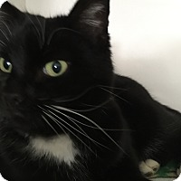 Domestic Shorthair Cat for adoption in Colorado Springs, Colorado - Denali