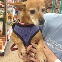 Chihuahua Dog for adoption in Fort Worth, Texas - Amber