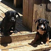 Adopt A Pet :: Ellie-pending adoption - Manchester, CT