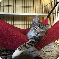 Adopt A Pet :: Millie - Island Park, NY