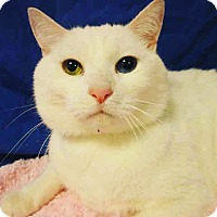 American Shorthair Cat for adoption in Santa Monica, California - Bowie