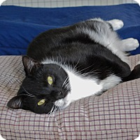 Domestic Shorthair Cat for adoption in Trevose, Pennsylvania - Bandit
