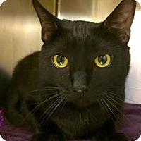 Adopt A Pet :: Ninja - Merrifield, VA