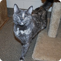 Domestic Shorthair Cat for adoption in Council Bluffs, Iowa - Sassy