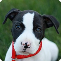 Adopt A Pet :: Templeton - Adoption Pending - Nanuet, NY