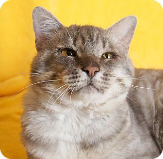 Domestic Shorthair Cat for adoption in Colorado Springs, Colorado - Columbo