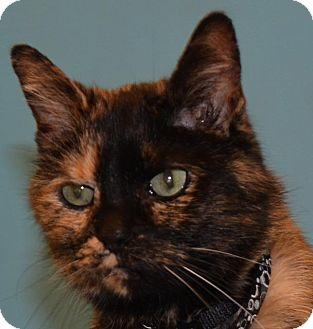 Domestic Shorthair Cat for adoption in Cincinnati, Ohio - Callie T.