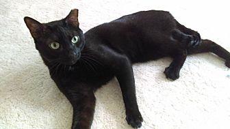 Domestic Shorthair Cat for adoption in St Paul, Minnesota - Rome