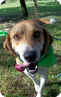 Treeing Walker Coonhound Mix Dog for adoption in Cabot, Arkansas - Gus