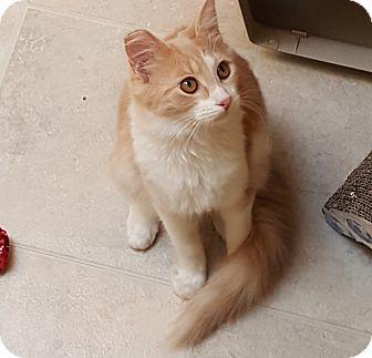 Domestic Mediumhair Cat for adoption in Pasadena, California - Fancy-Francie