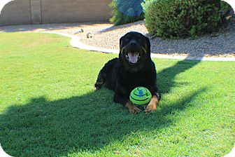 Rottweiler Dog for adoption in Gilbert, Arizona - Tundra