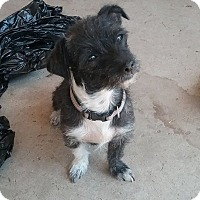 Terrier (Unknown Type, Small) Mix Dog for adoption in Rosamond, California - Bela