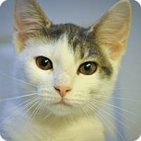 Domestic Shorthair Kitten for adoption in New Smyrna Beach, Florida - ISABEL (Super sweet)