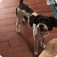 Poodle (Miniature)/Schnauzer (Miniature) Mix Dog for adoption in Humble, Texas - Sadie