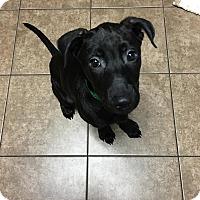 Adopt A Pet :: Sierra - Rochester Hills, MI
