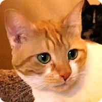 Adopt A Pet :: Potato - Gilbert, AZ