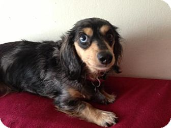 Dachshund Dog for adoption in Atascadero, California - Zelda