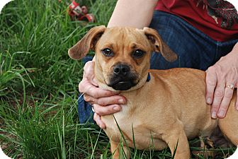 Pug/Beagle Mix Puppy for adoption in Albany, New York - Tiger