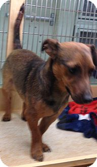 Dachshund/Jack Russell Terrier Mix Dog for adoption in Scottsdale, Arizona - Andy