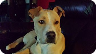 Labrador Retriever/Boxer Mix Dog for adoption in Homewood, Alabama - Max