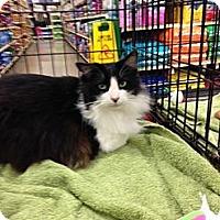 Domestic Shorthair Cat for adoption in Baton Rouge, Louisiana - Flower