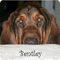 Adopt A Pet :: Bentley - Dallas, TX
